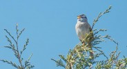 A White-crowned Sparrow sings from the top of a cedar in Washington Park at Anacortes, Washington.