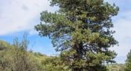 wpid927-Ponderosa-Pine-N.-Wenas-Road-Ellensburgh-7420.jpg