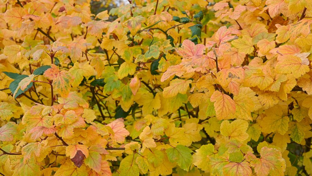 The yellow-Pink leaves on a Currant at Magnuson Park.