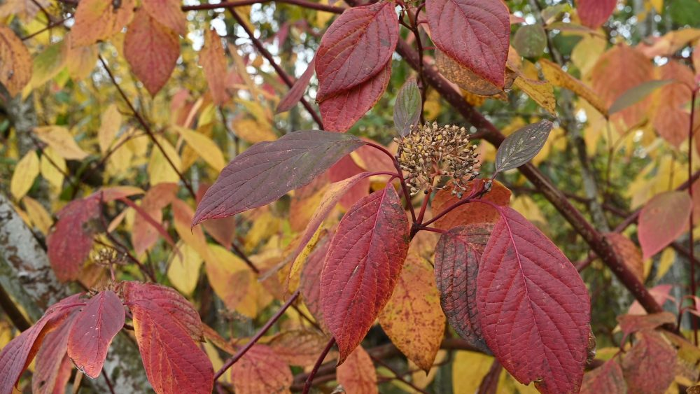 The fall color of Red Osier Dogwood