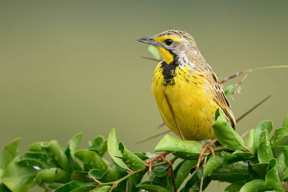 The yellow-throated Longclaw is a bird of subsaharan Africa and occurs in grasslands and dry savanna habitats.