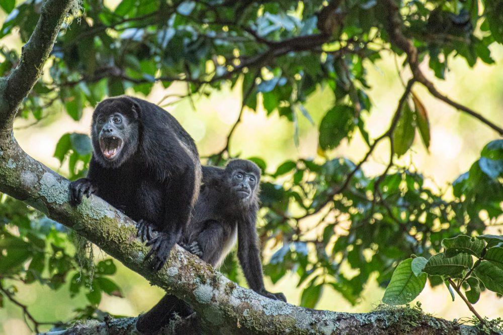 Howler Monkey, Mount Totumas, Panama