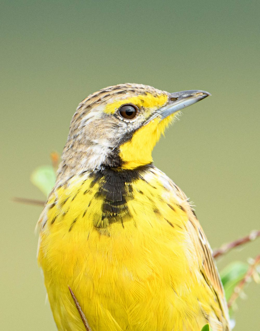 Yellow-throated Longclaw looks to its left, showing the yellow throat and black V on its chest.