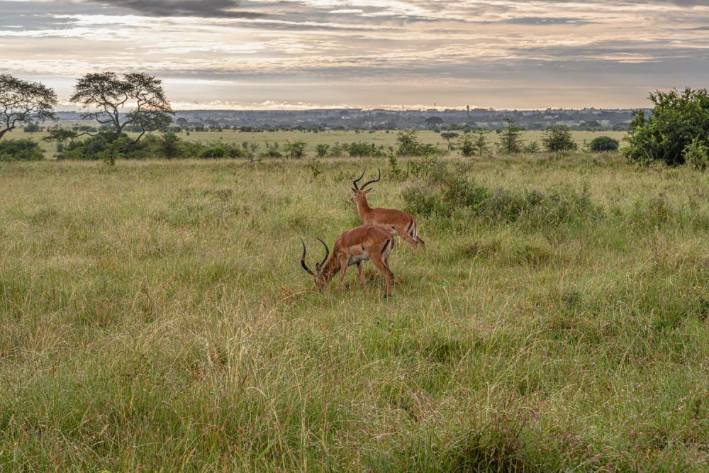Two impalas graze on the African plains in Nairobi National Park.