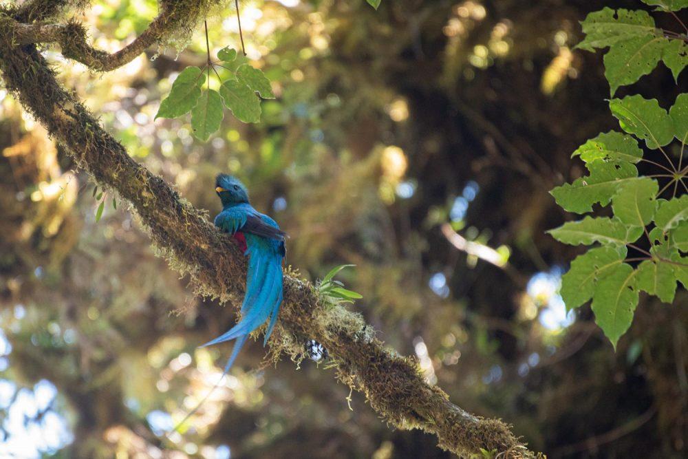 Resplendent Quetzal, Mount Totumas, Panama